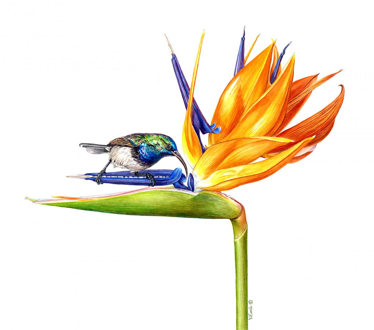 Bird of Paradise and Sunbird | Wallhanging by Vicky Earle | Artists for Conservation 2018