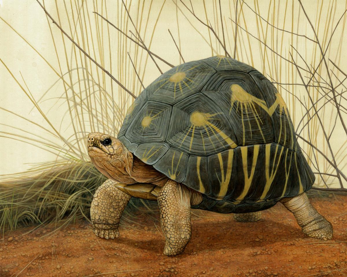Radiated Tortoise   Wallhanging by Matt Patterson   Artists for Conservation 2019