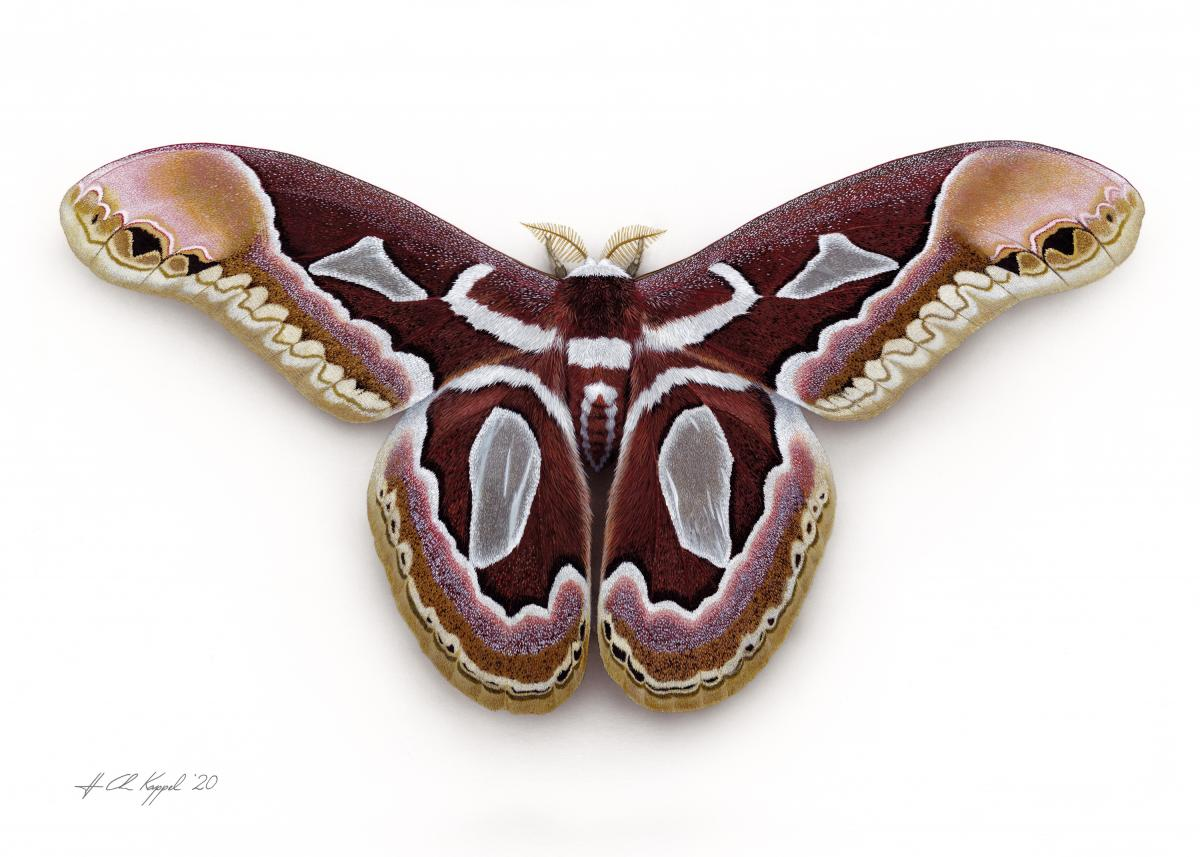 Jacob's Silkmoth | Wallhanging by Hans Kappel | Artists for Conservation 2020