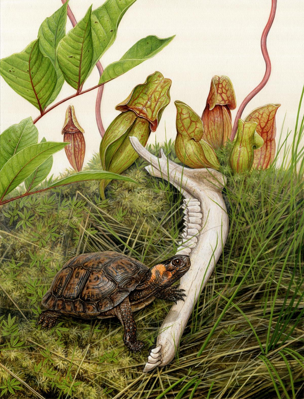 Bog Turtle   Wallhanging by Matt Patterson   Artists for Conservation 2021