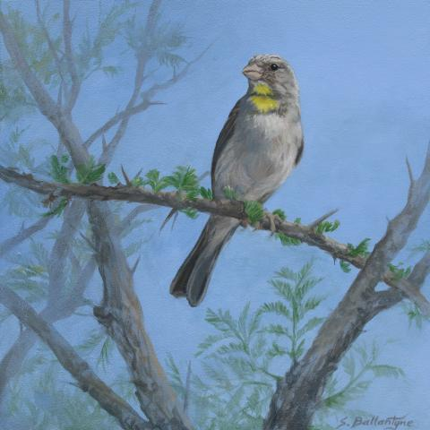 Yellow-throated Seedeater, Yellow-throated Serin by AFC