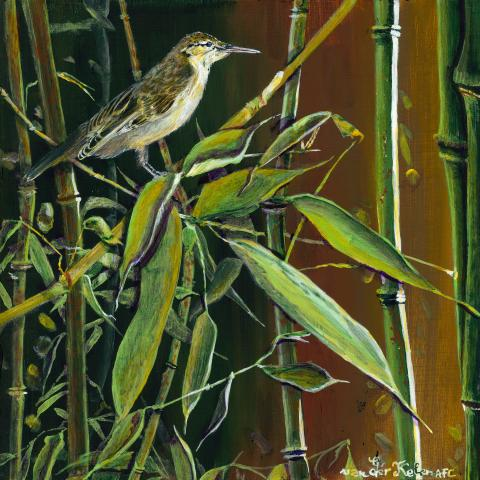 Moorea Reed-warbler, Mo'orea Reed-warbler, Mo'orea Reed Warbler by AFC