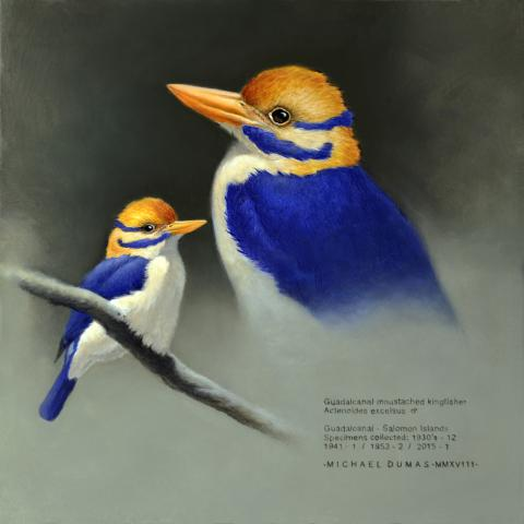 Guadalcanal Moustached Kingfisher by AFC