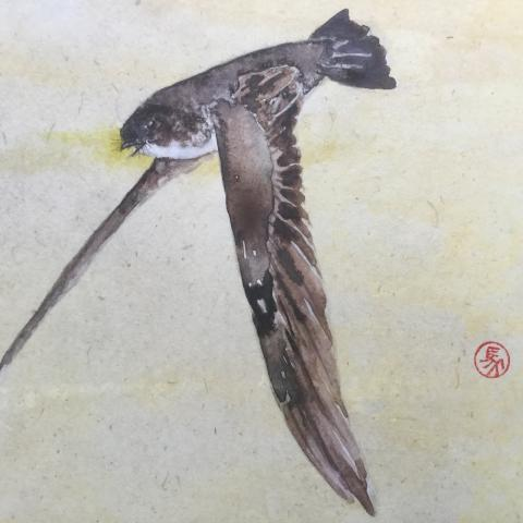 Mariana Swiftlet by AFC