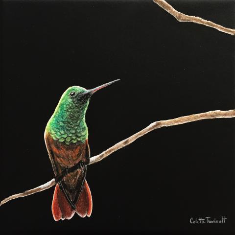 Chestnut-bellied Hummingbird by AFC