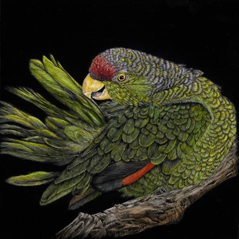 Lilac-crowned Amazon, Lilac-crowned Parrot by AFC