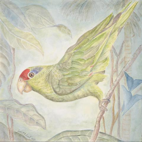 Red-crowned Amazon, Red-crowned Parrot, Green-cheeked Amazon by AFC