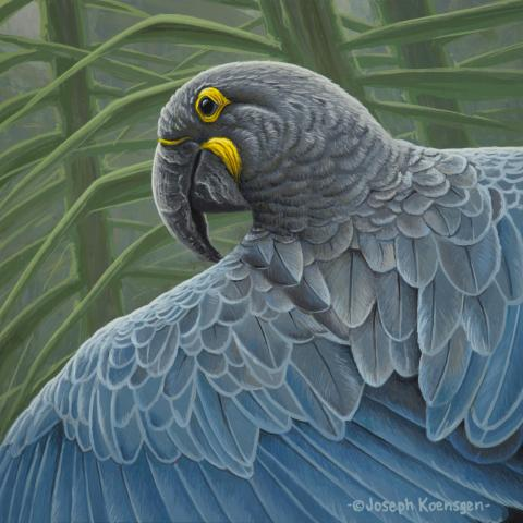 Glaucous Macaw by AFC