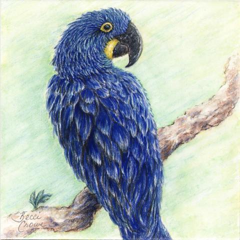Lear's Macaw, Indigo Macaw by AFC
