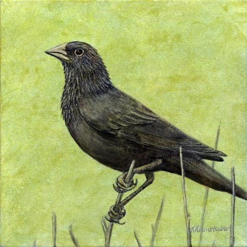 Forbes's Blackbird by AFC