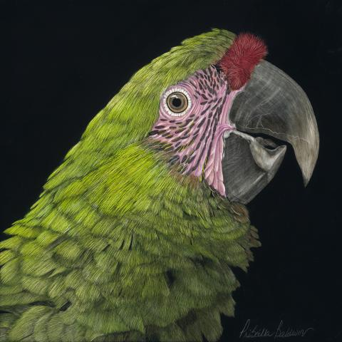 Great Green Macaw by AFC