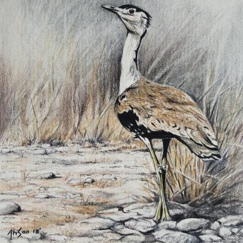Great Indian Bustard, Indian Bustard by AFC