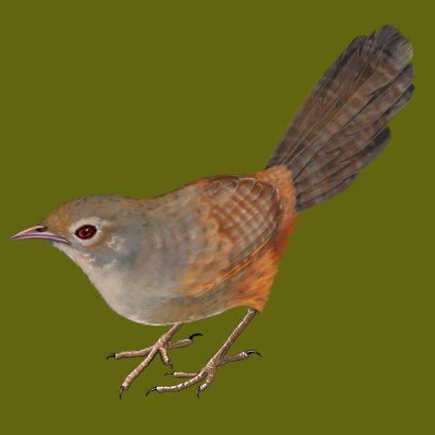 Noisy Scrub-bird, Western Scrubird, Noisy Scrubbird by AFC