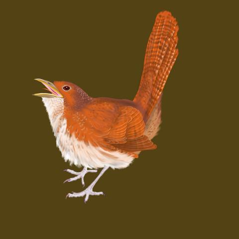 Rufous Scrub-bird, Rufous Scrubbird by AFC