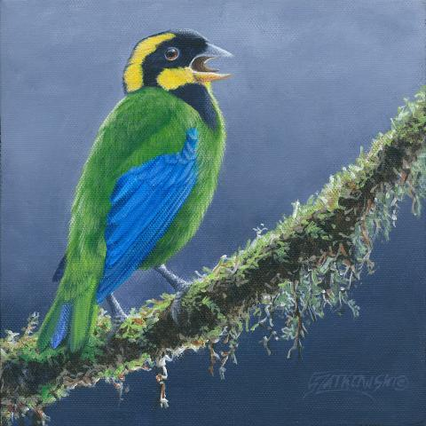 Gold-ringed Tanager by AFC