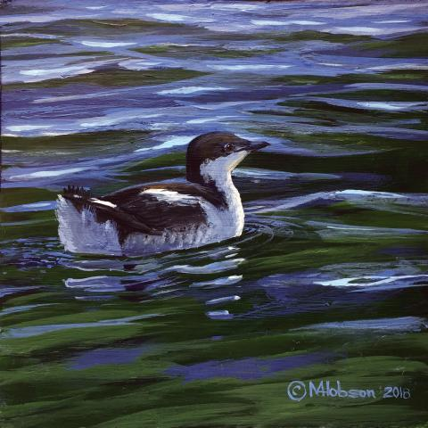 Marbled Murrelet by AFC