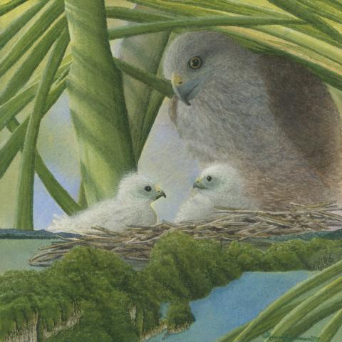 Ridgway's Hawk, Hispaniolan Hawk by AFC
