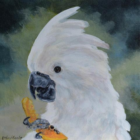 White Cockatoo, Umbrella Cockatoo by AFC