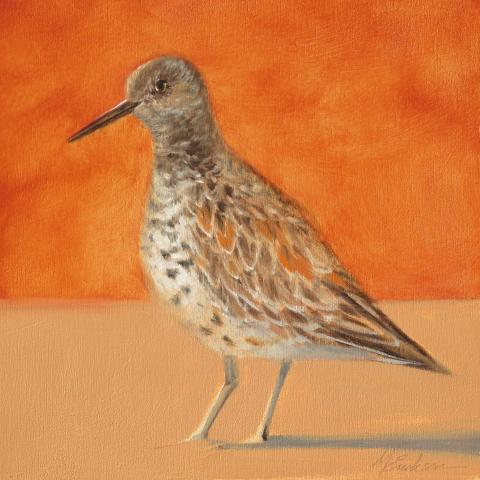 Great Knot by AFC