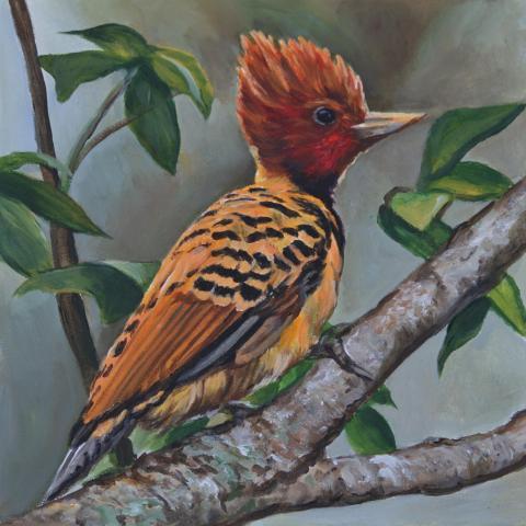 Kaempfer's Woodpecker, Caatinga Woodpecker, Piaui Woodpecker by AFC