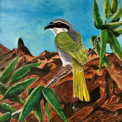 Mount Kupe Bush-shrike, Mount Kup Bush Shrike, Mount Kup Bush-shrike, Kup Bushshrike, Serle's Bushshrike by AFC