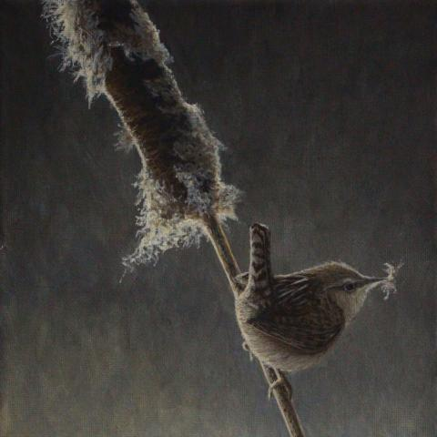 Apolinar's Wren, Apolinar's Marsh-wren by AFC