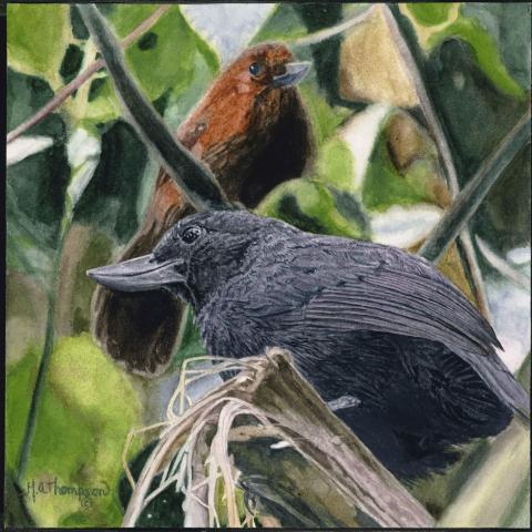 Recurve-billed Bushbird by AFC
