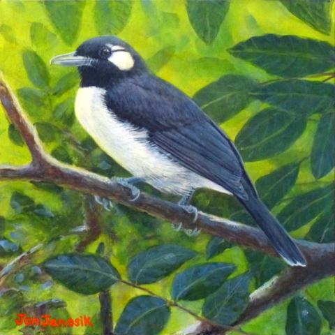 Nendo Shrikebill, Santa Cruz Shrikebill by AFC
