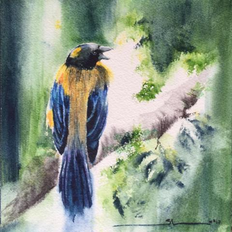 Golden-backed Mountain-tanager, Golden-backed Mountain Tanager, Golden-backed Mountain-Tanager by AFC