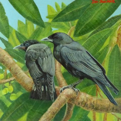 Mariana Crow, Guam Crow by AFC