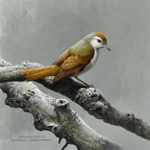 Bolivian Spinetail, Inquisivi Spinetail by AFC