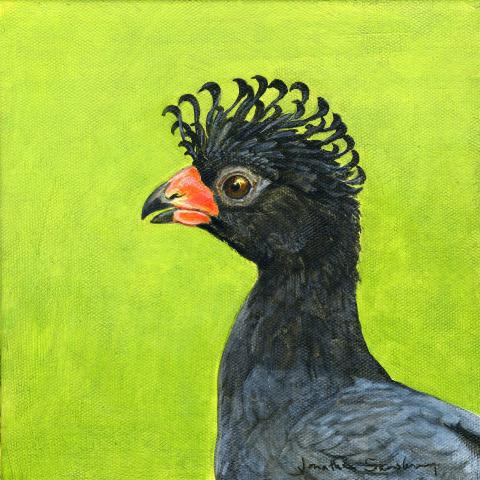Red-billed Curassow, Red-knobbed Curassow, Mutum by AFC