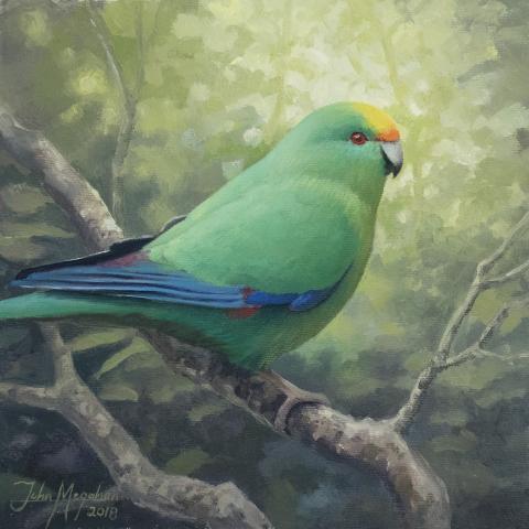 Malherbe's Parakeet, Orange-fronted Parakeet by AFC