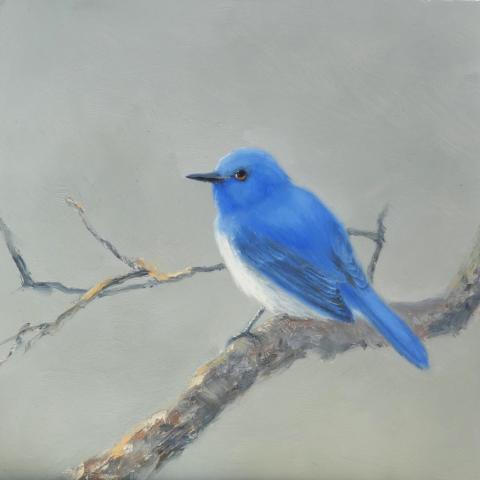 Rck's Blue-flycatcher, Rueck's Blue-Flycatcher, Rueck's Blue-flycatcher, Rueck's Niltava by AFC