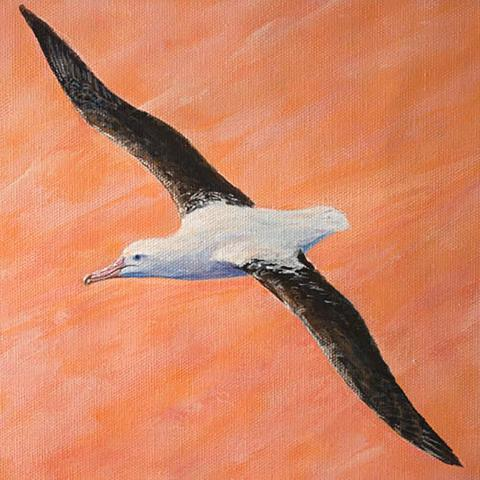 Northern Royal Albatross by AFC