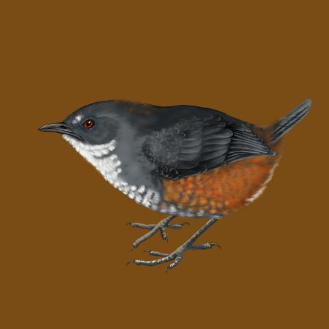 Bahia Tapaculo, Chestnut-sided Tapaculo by AFC