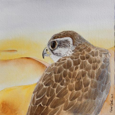 Saker Falcon, Saker by AFC