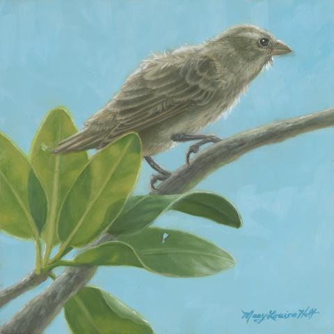 Mangrove Finch by AFC