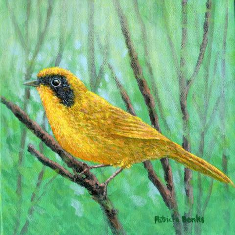 Black-polled Yellowthroat by AFC