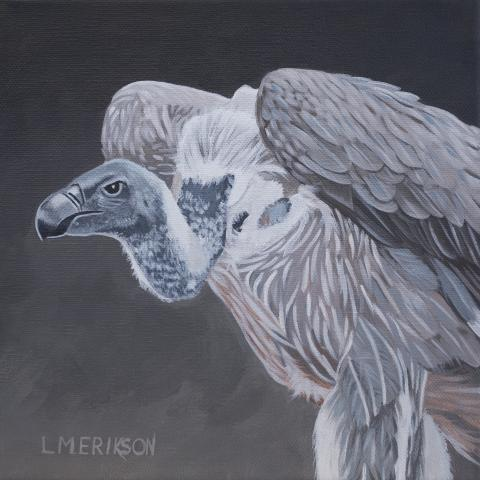 White-rumped Vulture, Asian White-backed Vulture, White-backed Vulture, Oriental White-backed Vulture by AFC