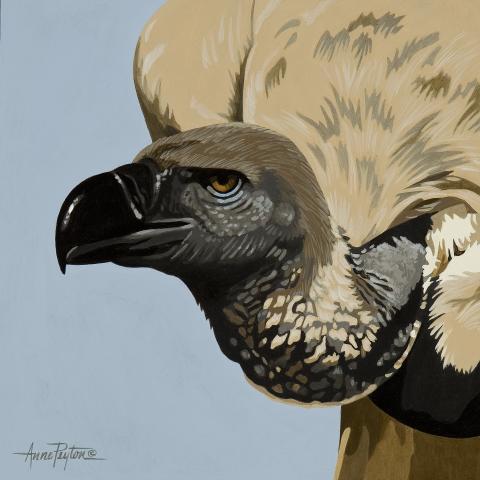Cape Vulture, Cape Griffon by AFC
