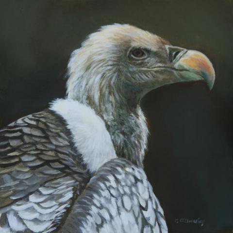Rppell's Vulture, Ruppell's Vulture, Rppell's Griffon Vulture, Rueppell's Griffon by AFC