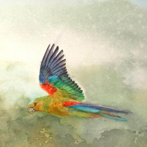 Indigo-winged Parrot, Fuertes's Parrot by AFC