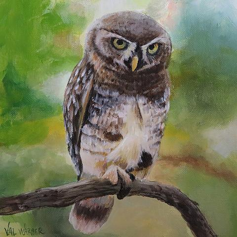 Forest Owlet, Forest Spotted Owlet, Forest Little Owl by AFC