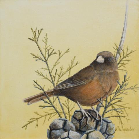 Guadalupe Junco by AFC