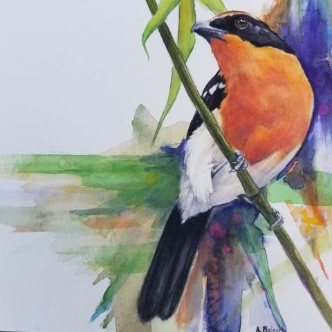 Braun's Bush-shrike, Orange-breasted Bushshrike, Orange-breasted Bush-shrike by AFC