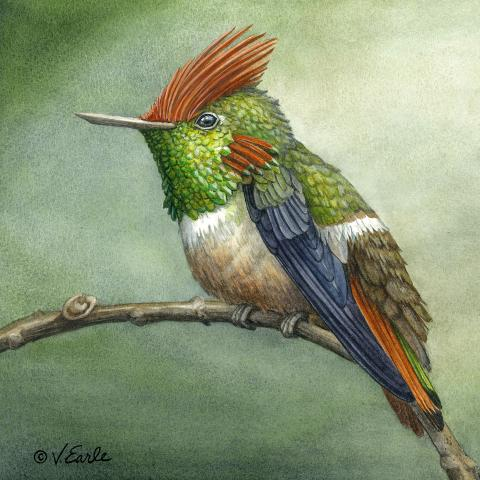 Short-crested Coquette by AFC
