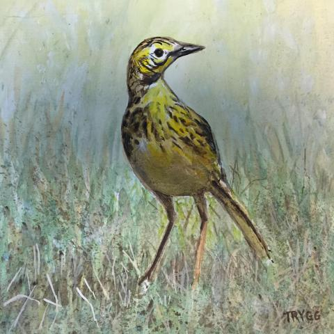 Sharpe's Longclaw, Sharpe's Pipit by AFC