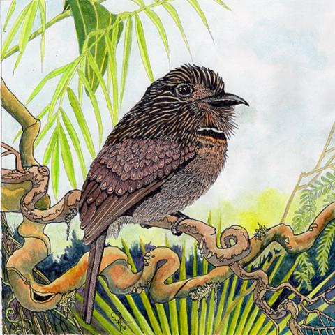 Lesser Crescent-chested Puffbird by AFC