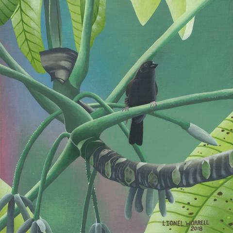 St Lucia Black Finch, St. Lucia Black Finch by AFC